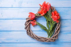 Le coeur décoratif et les tulipes aromatiques de ressort fleurit sur le pai bleu Photos stock