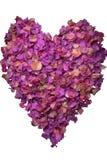 Le coeur d'isolement de la bouganvillée part dans le rose et les couleurs de pourpre Photo stock