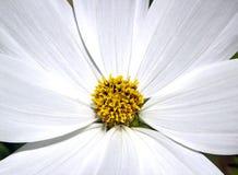 Le coeur d'une fleur blanche Image libre de droits