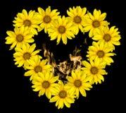 Le coeur des fleurs jaunes des tournesols décoratifs Helinthus et du feu flambe l'intérieur d'isolement Images stock