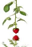 le coeur du jour f a isolé le valentine rose du rouge s d'o OM Images libres de droits