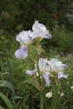 Le cognassier du Japon blanc d'iris fleurit en parc de ville Image libre de droits