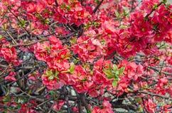 Le cognassier du Japon de Chaenomeles dentelle des fleurs d'arbre, coing du ` s de Maule photo libre de droits