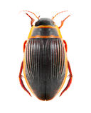 Le coléoptère grand de plongée (marginalis de Dytiscus). images stock