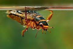 Le coléoptère grand de plongée (marginalis de Dytiscus) Images stock