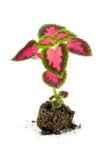 le coleus fleurit des pousses de lour Photographie stock