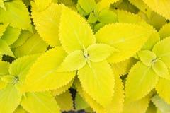 Le coleus jaune part (ortie peinte, ortie de flamme) Images stock