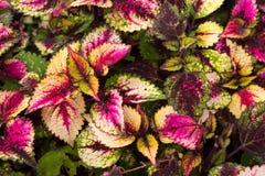 Le coleus part, fond coloré des feuilles, feuilles colorées sur un buisson Photos libres de droits