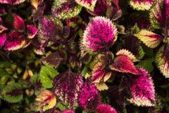 Le coleus part, fond coloré des feuilles, feuilles colorées sur un buisson Image libre de droits