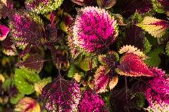 Le coleus part, fond coloré des feuilles, feuilles colorées sur un buisson Photo stock