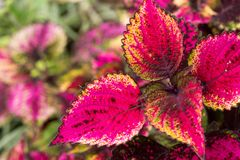 Le coleus part, fond coloré des feuilles, feuilles colorées sur un buisson Photographie stock libre de droits