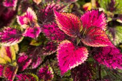 Le coleus part, fond coloré des feuilles, feuilles colorées sur un buisson Photos stock