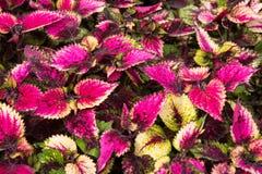 Le coleus part, fond coloré des feuilles, feuilles colorées sur un buisson Photo libre de droits