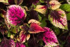 Le coleus part, fond coloré des feuilles, feuilles colorées sur un buisson Images stock