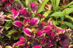 Le coleus part, fond coloré des feuilles, feuilles colorées sur un buisson Image stock