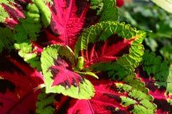 Le coleus vert et rose coloré part de la texture Photographie stock libre de droits