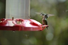 Le colibri alimentant du conducteur rouge image stock