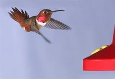 Le colibri d'Allen Images libres de droits