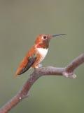 Le colibri d'Allen Photographie stock libre de droits