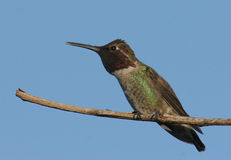 Le colibri d'Anna images libres de droits