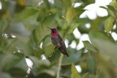 Le colibri d'Anna Images stock