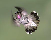 Le colibri d'Anna Photos stock