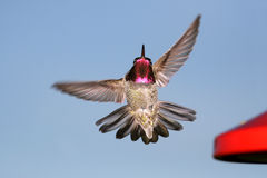 Le colibri d'Anna Photographie stock libre de droits