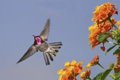 Le colibri d'Anna Photo stock
