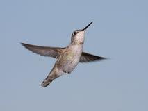 Le colibri d'Anna Photo libre de droits
