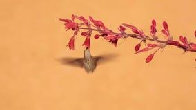 Le colibri d'Anna avec les fleurs rouges de yucca banque de vidéos
