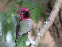 Le colibri d'Anna en hiver Photographie stock libre de droits