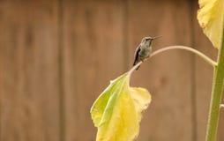 Le colibri d'Anna se reposant sur la feuille jaunie de tournesol avec la barrière en bois à l'arrière-plan Image stock