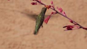 Le colibri de la côte et les fleurs rouges de yucca banque de vidéos