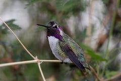 Le colibri de la côte mâle (costae de Calypte) Image libre de droits