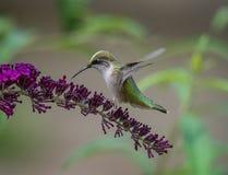 Le colibri rassemble le pollen des fleurs photographie stock
