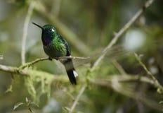 Le colibri se reposant sur l'arbre images stock