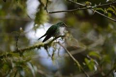 Le colibri se reposant sur l'arbre photographie stock