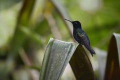 Le colibri se reposant sur l'arbre images libres de droits