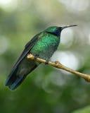 Le colibri vert était perché dans la réservation biologique de Monteverde, Costa Rica photographie stock