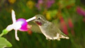Le colibri visite le fuchsia de la Reine Esther sous la pluie avec sa voix heureuse banque de vidéos