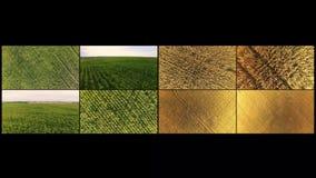 Le collage des cadres du champ des champs de blé et de maïs est enlevé du dron Vol au-dessus des champs de mûr clips vidéos