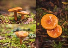 Le collage du chapeau orange de lait répand dans la forêt images stock