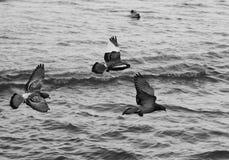 Le colombe sorvolano il mare Anapa gennaio La Russia Fotografia Stock