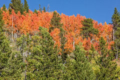 Le Colorado Aspen Trees dans l'automne Photos stock