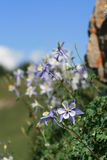 Le Colorado Columbine dans sauvage Photos stock
