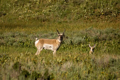 Le Colorado Pronghorn Photographie stock