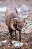 Le Colorado Rocky Mountain Bighorn Sheep Photographie stock libre de droits