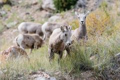 Le Colorado Rocky Mountain Bighorn Sheep Image libre de droits