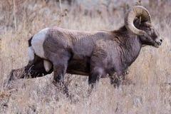 Le Colorado Rocky Mountain Bighorn Sheep photo libre de droits