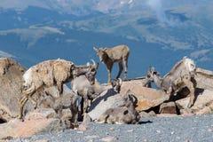Le Colorado Rocky Mountain Bighorn Sheep Images libres de droits